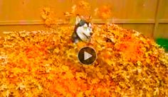 Since this Husky doesn't have piles of snow to romp around in, he figures this huge pile of leaves is close enough. The Husky, Butch, gleefully buries himself in the pile & then gets into a romping frenzy of joy. Awww!