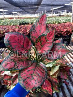 Welcome to L&P Farm: King of Euphorbia milii Best Indoor Plants, Cool Plants, Chinese Evergreen Plant, Euphorbia Milii, All About Plants, Bohemian Curtains, Inside Garden, Wonderful Flowers, Korma