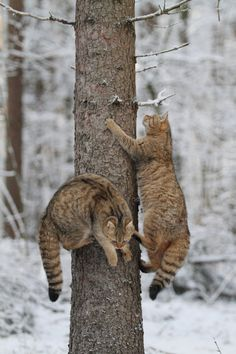 Scottish Wildcats | EasyWays.com Walking Holidays in #Scotland