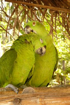 Perroquet du Costa Rica #vacance