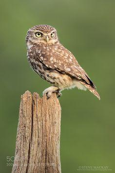 Little Owl by stevemackayphotography #animals #animal #pet #pets #animales #animallovers #photooftheday #amazing #picoftheday