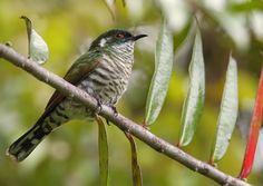 White-eared Bronze Cuckoo - Indonesia & Papua New Guinea