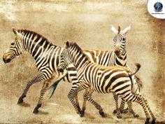 Sepia-Zebra-Wallpaper