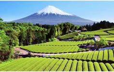 green tea plantation by mount fuji