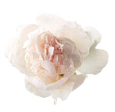Blush Peony Wholesale Flowers - 20 for $169.99, 30 for $209.99, 60 for $299.99, 100 for $397.99