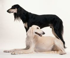 Saluki - 30 Rare and Exotic Dog Breeds You've Never Heard Of And Need To Know About Immediately