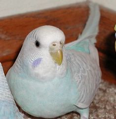 Parakeet (Budgie): Light Blue/Turquoise.   < Orig. Tag: Adult Female Parakeet with a white/yellow/light-blue color cere