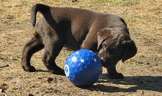 Brain Training For Dogs - Adrienne Farricelli's Online Dog Trainer Golden Labrador, Labrador Dogs, Brain Training, Training Tips, Chocolate Labrador Retriever, Great Pyrenees, Buffy, Best Dogs, Cute Puppies