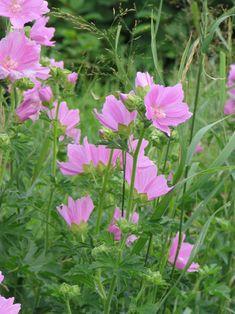 Malva moschata (myskmalva), 50 cm, juni-september, sol-halvskugga Juni, September, Green, Gardening, Gardens, Lawn And Garden, Horticulture