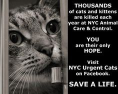 Link to prescreener for NYC Urgent Cats & Kittens: Fill out this form if you are interested in: 1) fostering or adopting a cat from the kill list or first alert or special pleas albums; 2) applying in advance to foster or adopt a cat on a future kill list or in a first alert or special pleas album; 3) fostering or adopting a cat who has already been pulled by a rescue group; 4) acting as a backup foster for cats pulled from NYCACC.