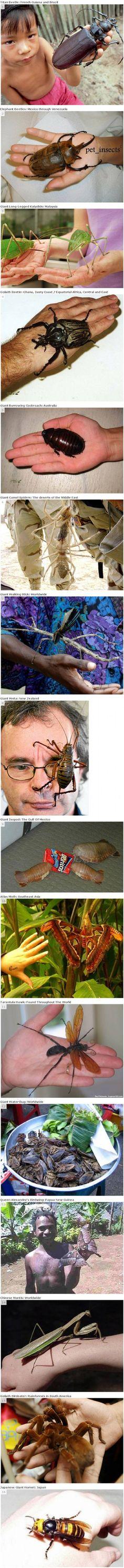 grote (!!) insecten