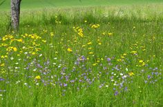 Bild der Woche: Artenreiche Streuobstwiese mit Glockenblumen in der Feldflur