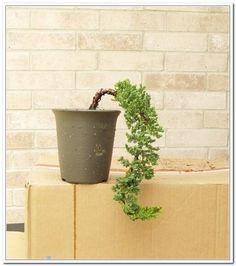 Styling The Juniper Probens Part 2 Of 6 Bonsaibonsai Stylesdallasplanter