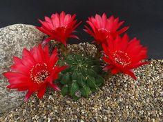 Echinopsis Lobivia chrysochele