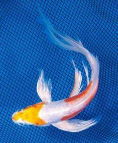 Koi Fish Drawing, Koi Fish Tattoo, Fish Drawings, Coy Fish, Koi Fish Pond, Fish Ponds, Koi Art, Fish Art, Colorful Fish