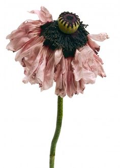 French artist Rachel Lévy photographs flowers that are past their prime: wilting, fading and revealing visible signs of decay. Nonetheless, captured in the last fleeting moments before perishing, they are strikingly beautiful. Irving Penn Flowers, Flower Crafts, Flower Art, Fabric Flowers, Paper Flowers, Hansel Y Gretel, No Rain, Types Of Flowers, Cool Plants