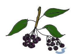 Aronia or Chokeberry (fruit that heals) Ladybug, Natural Remedies, Healing, Fruit, Vegetables, Nature, Flowers, Plants, Lady Bug