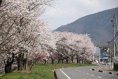 仁礼国道406号鮎川堤防の桜並木 4/20(8分咲き) Country Roads