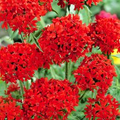 Palavarakkaus - Viherpeukalot helppo kesä-elo 60-100cm Orange Flowers, Summer Flowers, Colorful Flowers, Flower Beds, My Flower, Red Perennials, Planting Dahlias, Standard Roses, Crocosmia
