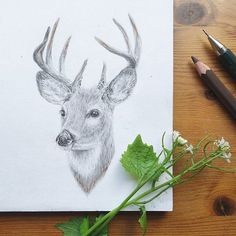 Deer drawing (pencil on paper) by Raahat.  #animals #art #wildlife #nature #raahatdraws @raahatventures