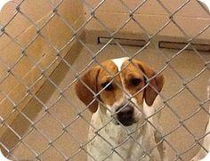 Doylestown, PA - Terrier (Unknown Type, Medium)/Hound (Unknown Type) Mix. Meet Bess, a puppy for adoption. http://www.adoptapet.com/pet/12452381-doylestown-pennsylvania-terrier-unknown-type-medium-mix