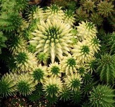 Resultado de imagem para euphorbia variegata