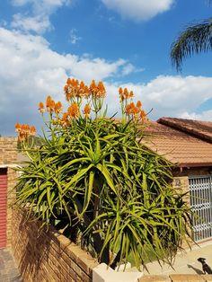 Aloe tongaensis in flower  May 2017
