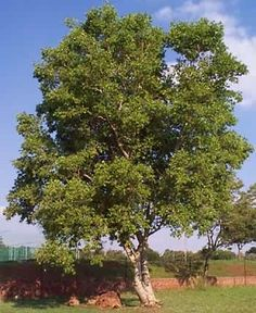 Combretum erythrophyllum is a large tree found in the bush along the river banks - also known as the River bushwillow tree