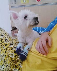 Mama get well soon! So that you can play with me again . #eijiwestie #westhighlandwhiteterrier #toocute #ilovemydog #lovemydog #westy #indonesia #dog #pet #doglove #woof #doggie #bestoftheday #cute #adorable #dogworld #paw #instapet #dogstagram #petstagram #westie #photooftheday #dogsofinstagram #paws #feature_do2 #westiegram #mylilbuddy #anjingdijualcom_mydog #dogsofindonesia #lacyandpaws @lacyandpaws @anjingdijual by eijiwestie West Highland White Terrier, Dog Rules, Cairn Terrier, Get Well Soon, White Dogs, Dogs Of The World, Westies, Scottie, I Love Dogs