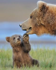 """438 Likes, 9 Comments - @mr.kodiakbear on Instagram: """"Hi Mom❤️. . : @robert_otoole Check his beautiful page. . . #bear #grizzly #brownbear #blackbear…"""""""