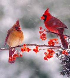 Male and Female Cardinals | Grace in Small Things #40 « Lola's Curmudgeonly Musings on Life, Love ...