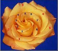 """... many flowers have a Fibonacci number of petals. Some, like this rose, also have Fibonacci, or Golden Spiral, petal arrangements."""