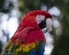 Green Wnged x Scarlet Macaw Hybrid