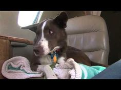 Blind Rescue Dog Gets A Free First Class Plane Ride To Her Forever Home Thanks To An Amazing Pilot