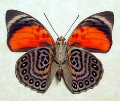 http://www.butterfly-designs.com/butterflies/images/agrias_claudina_lugens_verso_a.jpg