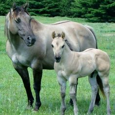 Beautiful Grulla mare and colt...Look at that hip and chest on that boy....