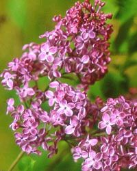 When Lilacs Won't Bloom   Gardener's Supply
