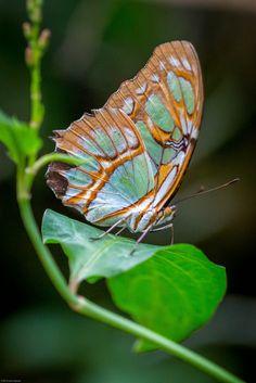 Malachite Butterfly