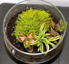 Irish Moss Tropical Terrarium, mini-ecosystem and fully self sustainable Tropical Terrariums, Garden Terrarium, Irish Moss, Bonsai, Succulents, Planters, Mini, Bonsai Plants, Succulent Plants