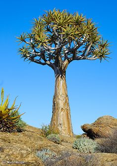 Aloe dichotoma (Quiver Tree) ~ By Martin_Heigan Cacti And Succulents, Planting Succulents, Cactus, Giant Tree, Unique Trees, Desert Plants, Tree Forest, Quiver, Types Of Plants