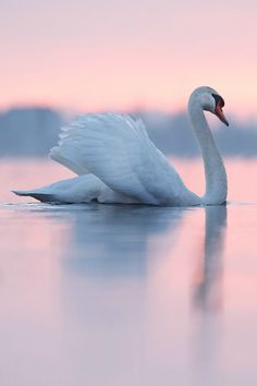 swan on pink water. Please also visit www.JustForYouPropheticArt.com for colorful, inspirational, prophetic art and stories. Thank you so much, Blessings!