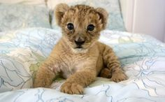 Filhote de Leão na Cama - papel de parede para download