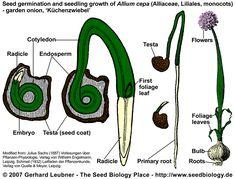 plant embryo development - ค้นหาด้วย Google