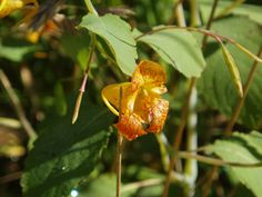 Native plant: Impatiens capensis (Jewelweed) from wildflower.org
