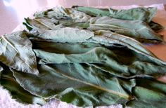 How to harvest, prepare and use Mullein. Fantastic Herb for pain relief and asthma!