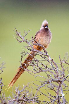 Speckled Mousebird, Colius striatus striatus, adult   Koppie Alleen
