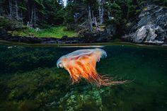 Aguas generosas · National Geographic en español. · Reportajes - Una medusa crin de león se deja arrastrar por las aguasde la bahía de Bonne; esta especie puede llegar a medir hasta 2,50 metros de ancho. Undersea Images (imágenes submarinas)