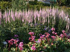 Langblättriger Ehrenpreis 'Pink Damask' - Veronica longifolia 'Pink Damask'
