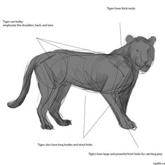 Tiger drawings step 1: a gesture drawing is a great way to make sure your tiger has the right proportions and flow points that you can turn into muscles later on. Study the anatomy of a tiger to see all the bone structures and how the flesh covers it up.