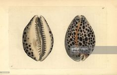 Photograph-Tiger cowry shell, Cypraea tigris-Photograph printed in the USA Fine Art Prints, Framed Prints, Canvas Prints, Seashell Tattoos, Forearm Band Tattoos, Shell Drawing, Tattoo Designs, Tattoo Ideas, Fine Art Paper